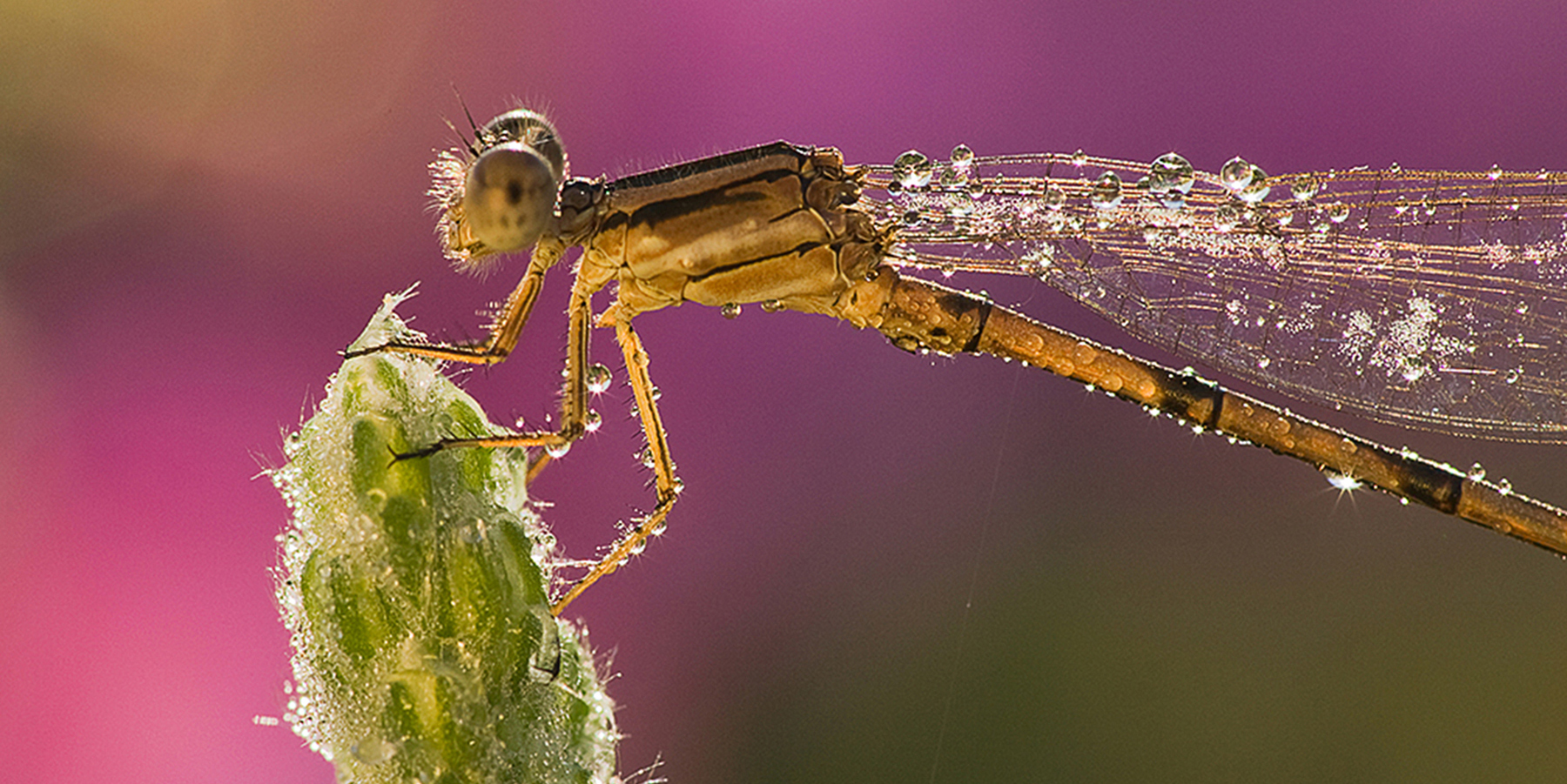 Dew-covered Damselfly