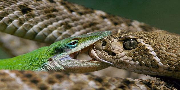 Western Diamondback Rattlesnake and Green Anole
