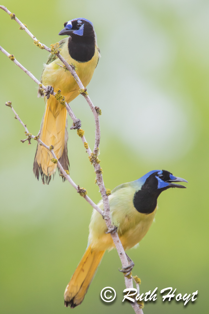 Green Jays (Cyanocorax yncas)