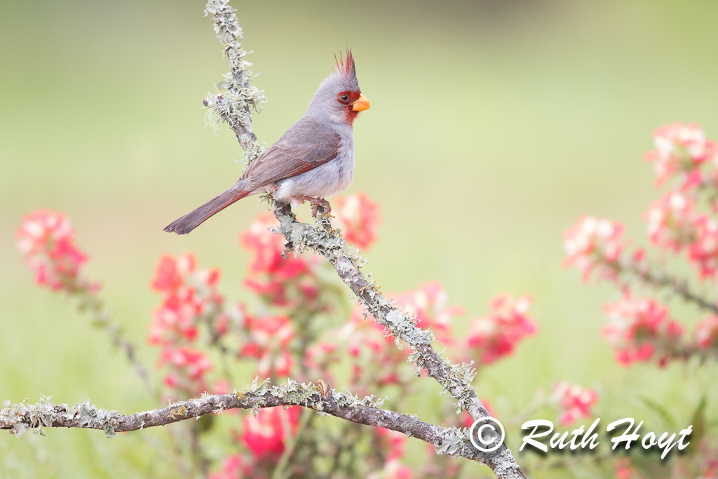 Pyrrhuloxia on a lichen-covered perch with a backdrop of Indian Paintbrush flowers