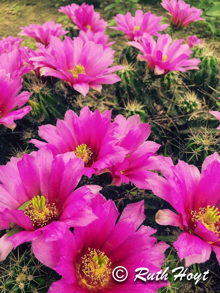 Pitaya Cactus blossoms