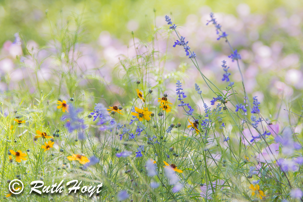 Springtime Wildflowers of Hill Country, Texas
