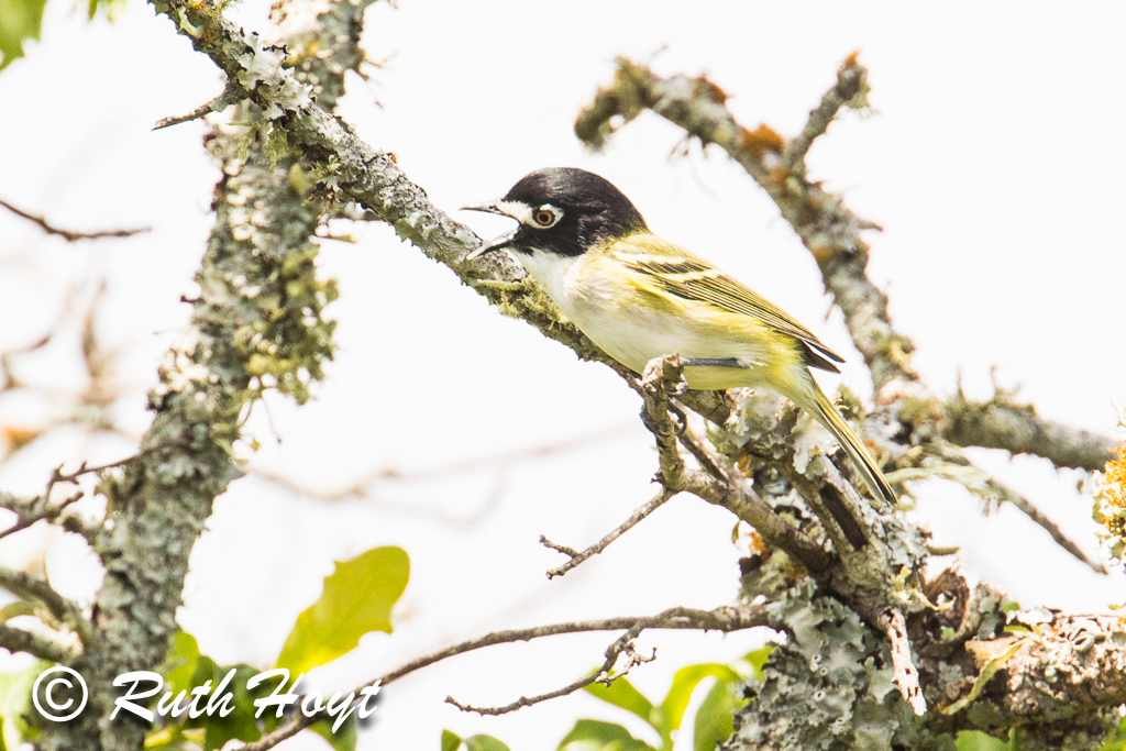 Black-capped Vireo in Song