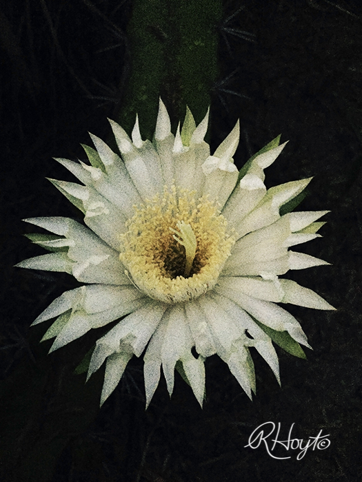 Night-blooming Cactus Blossom
