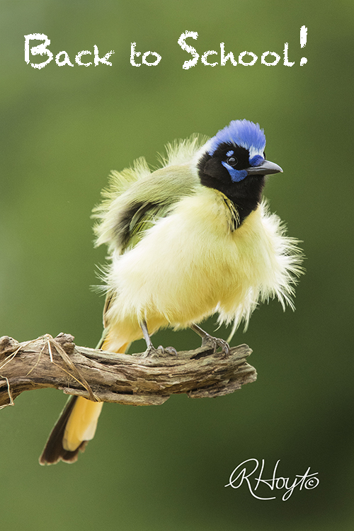 Back-to-School Fluffy Green Jay