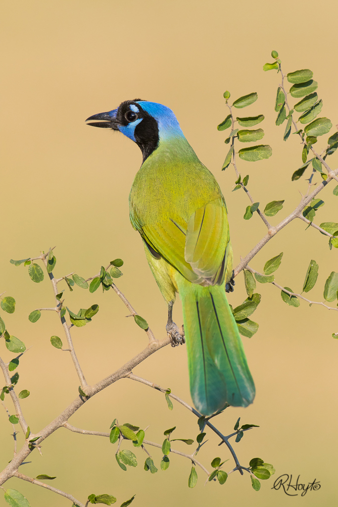A Green Jay faces away from the photographers, showing the color of its head.