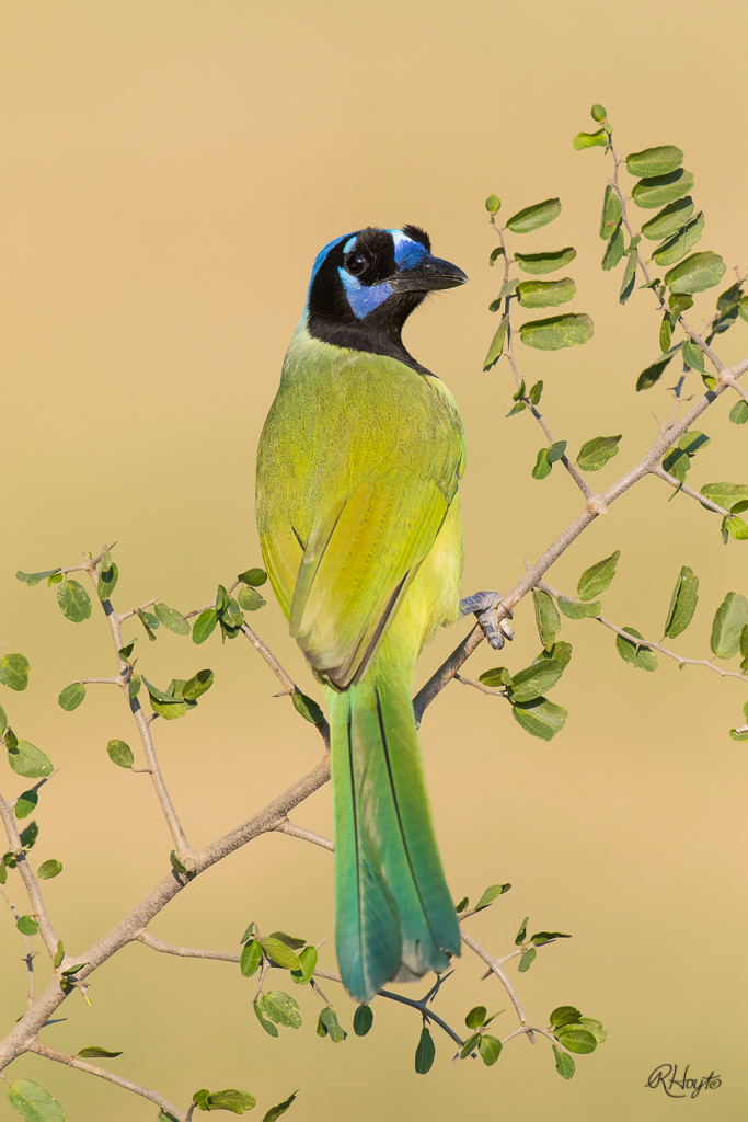 A Green Jay looks back over its shoulder toward the photographers.